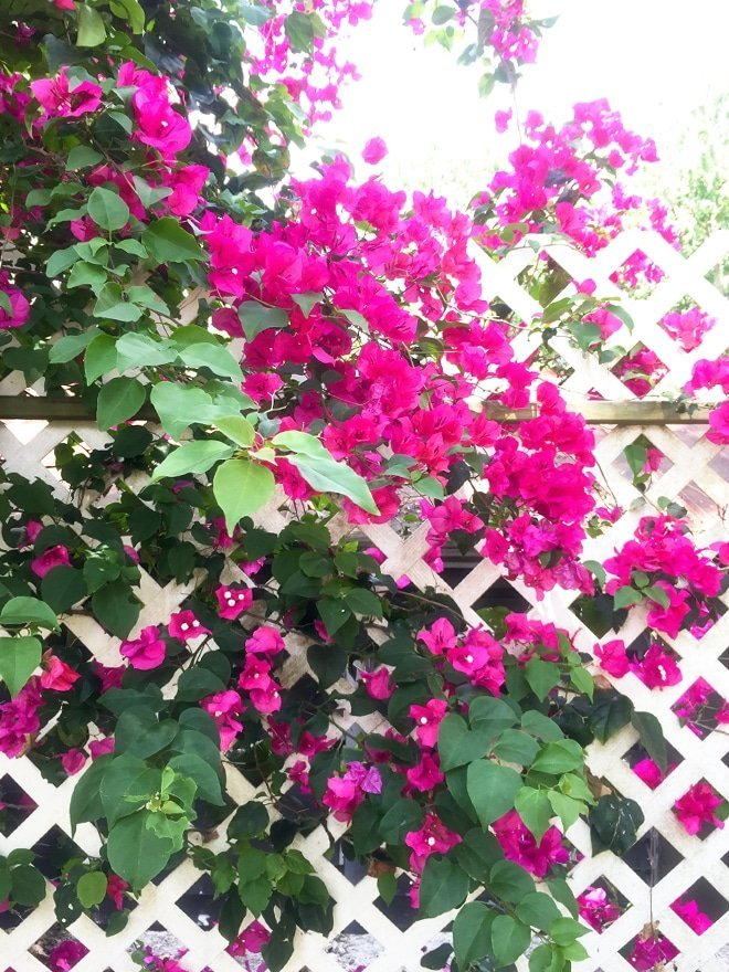 bougainvillea via Ashley Brooke Designs- Blog