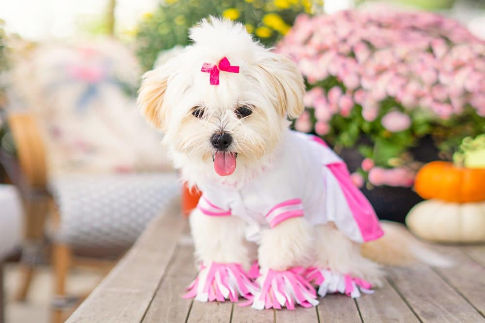 Dolly's Cheerleading Costume - Pet Costume | www.ashleybrookedesigns.com 2 h